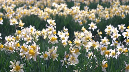 żonkile : Daffodil Flowers Swaying in the Wind Wideo