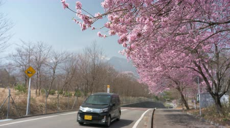 den : Small Car Passing by Cherry Trees in Full Bloom