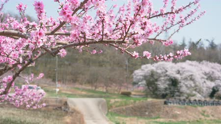 assinatura : Peach Blossoms Swaying in the Wind