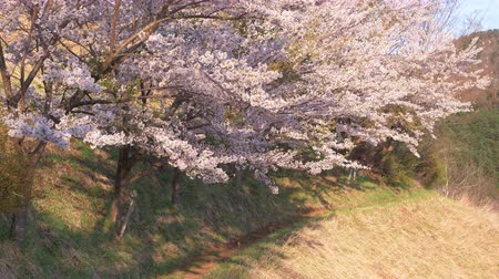 trave : Cherry Trees in Full Bloom Swaying in the Wind in a Mountain