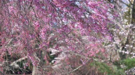 foco no primeiro plano : Weeping Cherry Tree in Full Bloom Swaying in the Wind Vídeos