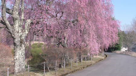 цветение : Weeping Cherry Trees Blooming by the Country Road