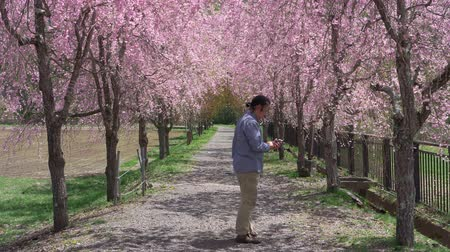meia idade : Japanese Man Taking a Photo of Cherry Blossoms with His Smartphone