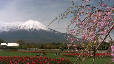 snowcapped : Mt. Fuji over Red Tulip Flowers and Weeping Cherry Blossoms