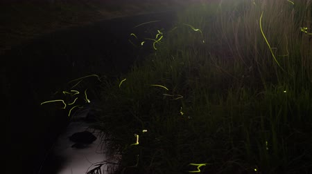 tilt down : Fireflies Flying above a River in the Countryside of Japan (down tilt)
