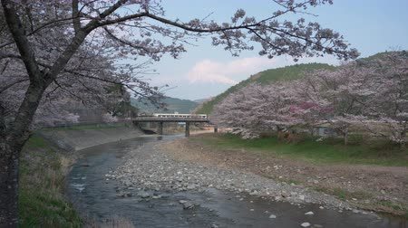 snowcapped : Mt. Fuji over Inase River and Cherry Trees in Full Bloom: Shot in Fujinomiya City, Shizuoka Prefecture (time lapse)