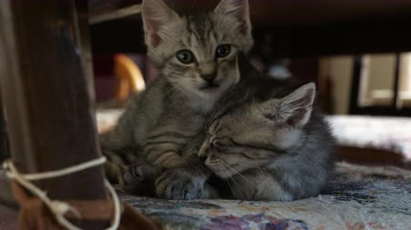 sobre : Kittens Playing about on a Chair in a Dining Room Stock Footage