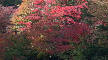 алый : Autumn Leaves in the Shosenkyo Gorge in Kofu City, Yamanashi Prefecture, Japan (tilt up)