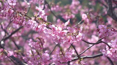 focus pull : Early Blooming Cherry Blossoms Swaying in the Wind (Pulling Focus)