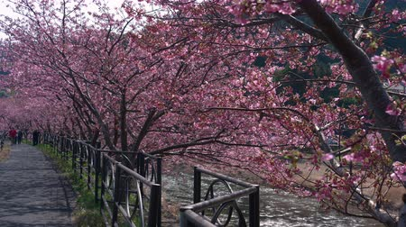 stroll : Blooming Cherry Trees along a River in Japan Stock Footage