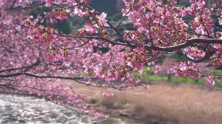 focus pull : Early Blooming Cherry Blossoms Swaying in the Wind (Racking Focus) Stock Footage