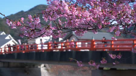 focus pull : People Gazing at Cherry Blossoms on a Bridge (Kawazu Town, Izu Peninsula)
