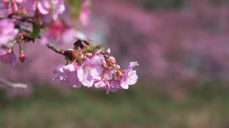 focus pull : Early-Blooming Kawazu Cherry Blossoms Swaying in the Wind