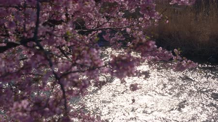 pulling up : Cherry Blossoms and Shinny River (Rack Focusing) Stock Footage