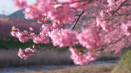 focus pull : Early-Blooming Cherry Blossoms Swaying in the Wind (Rack Focusing) Stock Footage