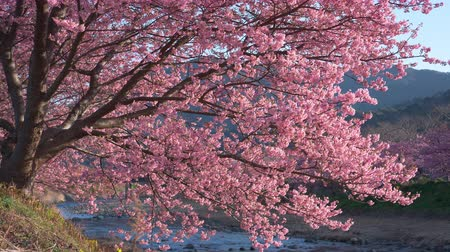 focus pull : Cherry Blossoms Swaying in the Wind by a River Stock Footage