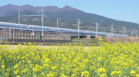 shinkansen : Bullet Train Passing by Canola Blossoms in Spring