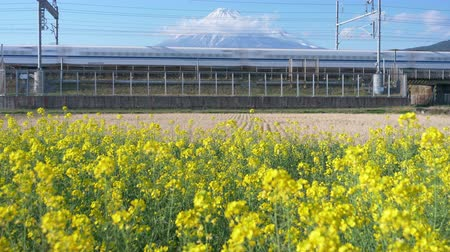 focus pull : Bullet Train Passing by a Field of Canola Flowers with Mt. Fuji in the Background (focus pulling) Stock Footage