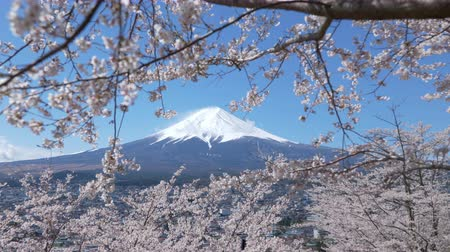 focus pull : Mt. + Fuji + Framed + by + Cherry + Blossoms +% 28panning% 29