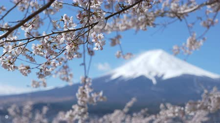 snowcapped : Mt. Fuji and Cherry Blossoms