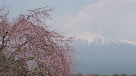 weeping : Mt. + Fuji + over + A + Weeping + Cherry + Tree + in + Bloom +% 28zoom + in% 29