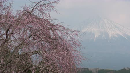 weeping : Mt. + Fuji + over + A + Weeping + Cherry + Tree + in + Bloom +% 28time + lapse% 2Fpan% 29