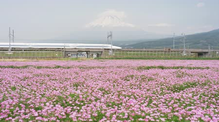 shinkansen : Shinkansen + bullet + train + passing + by + Mt. + Fuji + over + A + field + of + Japanese + milk-vetch + flowers +% 28tilt + up% 29 Stock Footage
