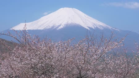 snowcapped : Mt. Fuji over a Cherry Tree in Bloom by a Country Road (time lapseTilt down)