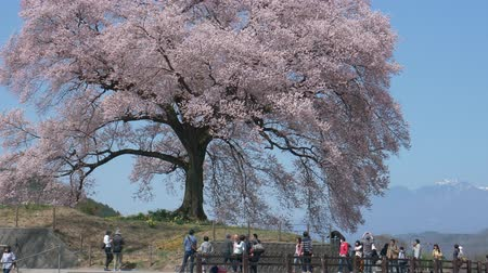 パンダ : EDITORIAL: Nirasaki City, Yamanashi Pref., Japan-March 31, 2018: Wanizuka-no-Sakura is a tall Japanese Cherry Tree (Edoh IgAN). The age of the tree is said to be about 300 years old. 動画素材