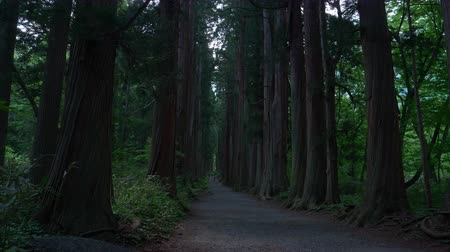 sedir : Tourists Walking Up An Avenue of Cedars in a Forest in Togakushi, Nagano Pref., Japan (Time lapse)