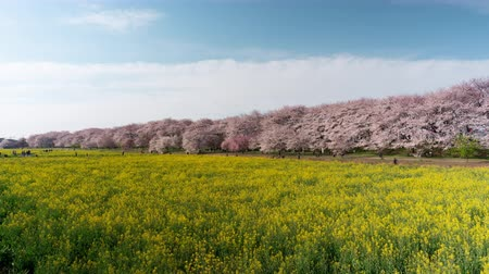 üç renkli : Cherry Blossoms over Fields of Rapeseed Blossoms (time lapsetilt up)