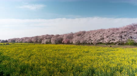trikolóra : Cherry Blossoms over Fields of Rapeseed Blossoms and People Enjoying the Flowers Time lapsetilt up