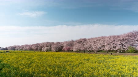 tilt down : Cherry Blossoms over Fields of Rapeseed Blossoms and People Enjoying the Flowers time lapsetilt down