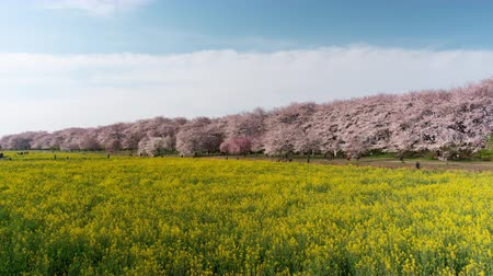 trikolóra : Cherry Blossoms over Fields of Rapeseed Blossoms and People Enjoying the Flowers (time lapsezoom in): Shot at Gongendo, S atte City, Saitama Pref., Japan