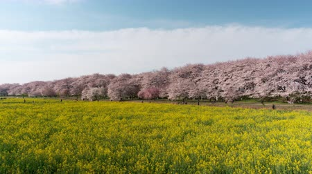 trikolóra : Cherry Blossoms over Fields of Rapeseed Blossoms and People Enjoying the Flowers (time lapsezoom out): Shot at Gongendo, Satte City, Saitama Pref., Japan Dostupné videozáznamy