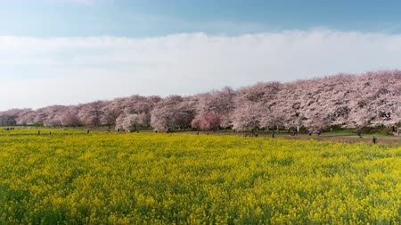 trikolóra : Cherry Blossoms over Fields of Rapeseed Blossoms and People Enjoying the Flowers (time lapseleft to right panning): Shot at Gongendo, Satte City, Saitama Pref., Japan Dostupné videozáznamy