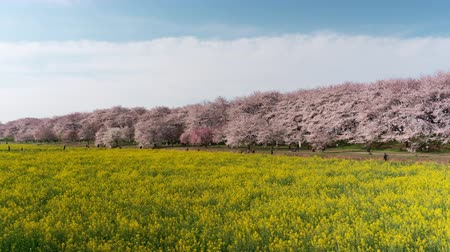 üç renkli : Cherry Blossoms over Fields of Rapeseed Blossoms and People Enjoying the Flowers (time lapseright to left panning): Shot at Gongendo, Satte City, Saitama Pref., Japan