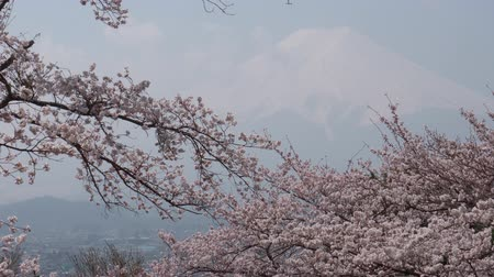 oriental cherry tree : Mt. Fuji over Cherry Blossoms on a Hazy Day (time lapsetilt down) Stock Footage