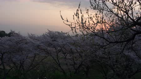 fuji : Cherry Blossoms Swaying in the Wind at Sunrise (time lapse)