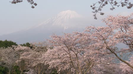 tilt down : Mt. Fuji over Cherry Blossoms (tilt down)