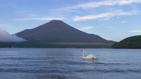 muet : Swan Floating on a Lake with Mt. Fuji in The Background (Lake Yamanaka, Yamanashi pref.)