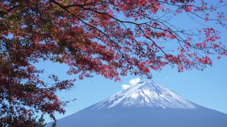 mt : Mt. Fuji over Red Maple Swaying in the Wind