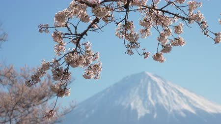 rack focus : Mt. Fuji and Cherry Blossoms (Rack Focus) Stock Footage