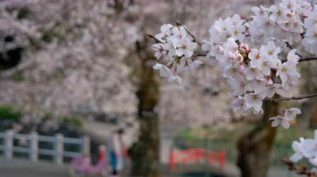 oriental cherry tree : Cherry Blossoms Swaying in the Wind While Children Playing In the Background (Tilt Down)