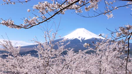 snowcapped : Nt. Fuji Framed by Cherry Blossoms (Panning)