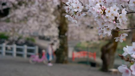 foco no primeiro plano : Cherry Blossoms Swaying in the Wind While Children Playing About in the Background Vídeos