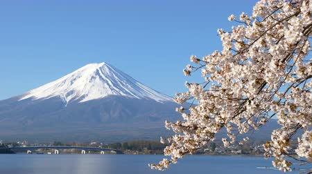 oriental cherry tree : Mt. Fuji with Cherry Blossoms at Lake Kawaguchi (zoom in)