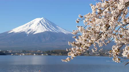 snowcapped : Mt. Fuji with Cherry Blossoms at Lake Kawaguchi