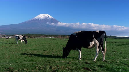 plateau : Mt. Fuji and Dairy Cows Grazing in a Pasture (zoom in)