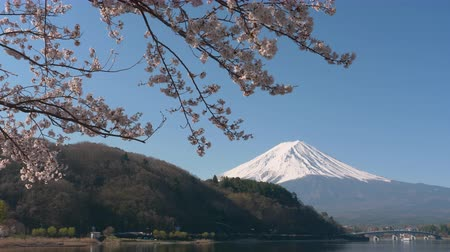 Mt. Fuji and Cherry Blossoms at Lake Kawaguchi (panning) Stock Footage